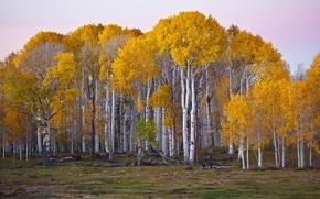 Wallpaper USA, autumn, trees, Utah, forest, birch