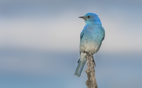 Picture bird, blue, beauty