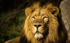Picture face, portrait, predator, Leo, mane, wild cat