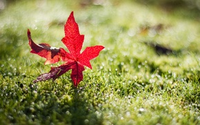 Picture summer, red, glare, leaf, in the grass, sunlight, fell, dewdrops