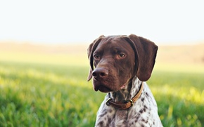 Picture background, dog, French Pointer