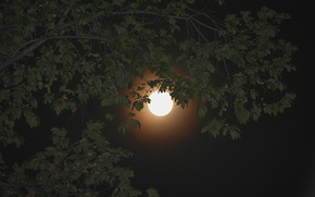 Picture the sky, leaves, night, branch, the moon, Moon, sky, night, leaves, tree