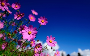 Picture the sky, macro, flowers, pink, field, kosmeya