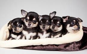 Picture puppies, cute, quintet