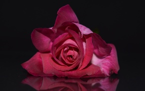 Picture flowers, rose, petals, Bud