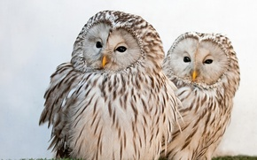 Picture owls, Ural owl, the Ural owl