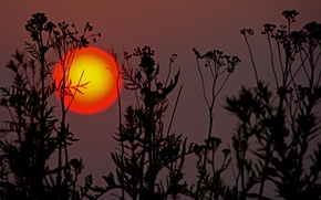 Picture the sun, sunset, plants, silhouette