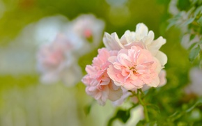 Picture tenderness, beauty, macro, flowers, garden, nature, roses, leaves, blur, petals, greens, Bush, pink, green, buds