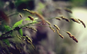 Picture grass, drops, macro, spikelets