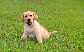 Picture greens, language, grass, baby, puppy, Labrador, dog, juicy