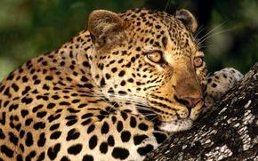 Wallpaper cat, leopard, spot