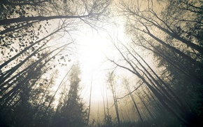 Picture forest, the sky, trees, nature, fog, haze