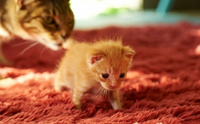 Picture cat, carpet, kitty, cub, mom