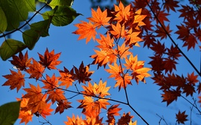 Picture autumn, the sky, leaves, maple