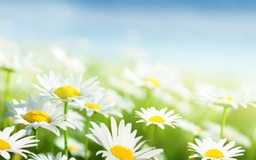 Picture the sky, grass, leaves, flowers, freshness, green, chamomile, beauty, spring, blur, white, grass, white, sky, …