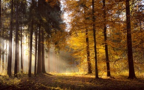 Picture autumn, forest, light, nature, morning