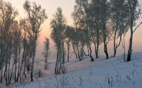 Picture snow, nature, birch