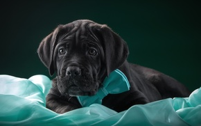 Picture butterfly, tie, puppy, fabric, cane Corso