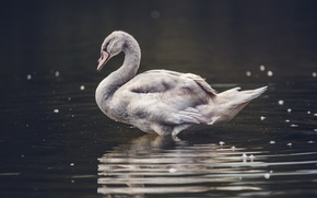 Picture bird, water, feathers, bokeh, animal, pond, goose