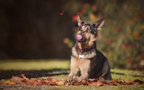 Picture autumn, language, leaves, dog, shepherd