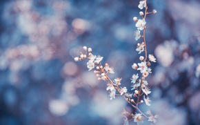 Picture macro, flowers, branches, blue, background, petals, Trees, blur, white