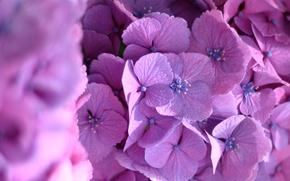 Wallpaper macro, flowers, hydrangea