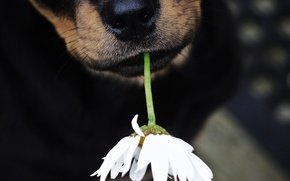Picture flower, dog, nose, dog