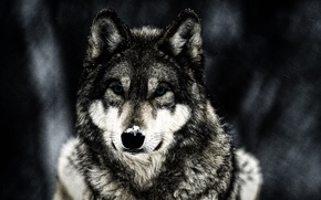 Picture winter, animal, wolf