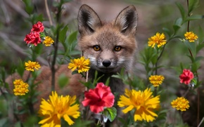 Picture look, flowers, Fox