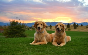 Picture dogs, sunset, two, dog, Retriever