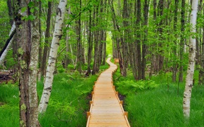Picture forest, trail, USA, flooring, Acadia National Park, Maine, Jesup Path