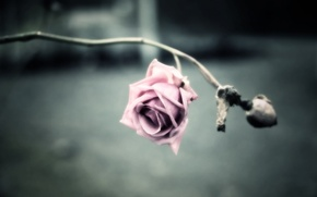 Wallpaper background, picture, treatment, Wallpaper, flower, rose, petals, stem, photo, spikes