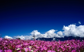 Picture the sun, clouds, flowers, mountains, pink, field, kosmeya