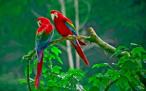 Picture forest, leaves, nature, branch, feathers, beak, parrot, pair, tail