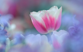 Picture white, flower, flowers, pink, tenderness, spring, Tulip