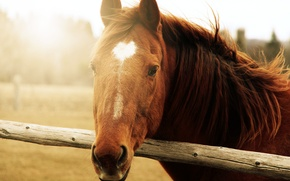 Picture animals, face, the sun, background, horse, widescreen, Wallpaper, horse, wallpaper, brown, widescreen, background, full screen, …