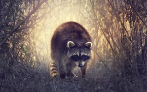 Picture grass, nature, raccoon, the bushes