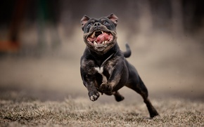 Picture face, background, dog, running