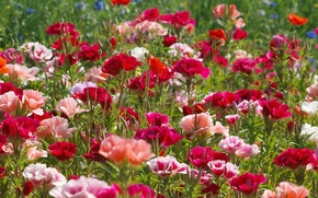 Picture field, grass, Maki, petals, meadow