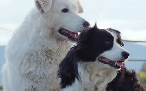 Picture dogs, portrait, The border collie, friends and comrades