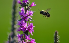 Wallpaper flower, bee, plant, insect, bumblebee