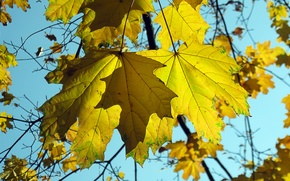 Picture autumn, the sky, leaves, nature, maple