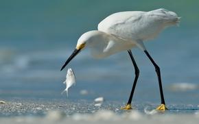 Picture sand, bird, fish, white, Heron, catch