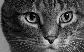 Picture cat, cat, look, face, black and white, monochrome