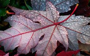 Picture leaves, drops, Rosa, fallen, maple, autumn