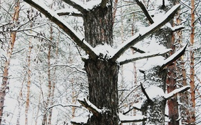 Picture snow, trees, nature