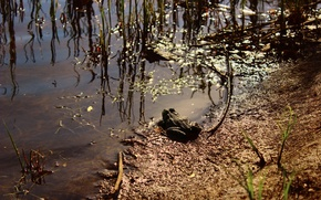Picture grass, swamp, Toad, the sun's glare.
