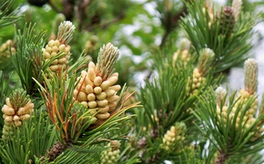 Picture needles, spruce, spring, bump, bumps, young, pine, bokeh, new, rejuvenation