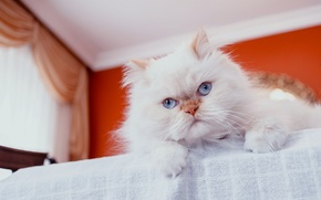 Picture cat, look, fluffy, pers, muzzle, blue eyes, Persian cat