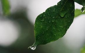 Picture drops, macro, sheet, leaf, drop of water, water droplet
